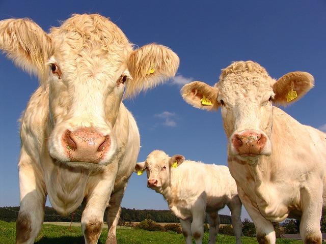 écornage veau et bovins